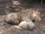 Chrismondanas Cooper als Junghund