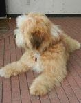 Chrismondanas Chimpu-Oskar als Junghund