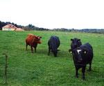 Unsere Angus-Rinder