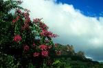 Blauer Himmel, weisse Wolken, Bougainvillea und rote Granitfelsen