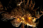 Pteroidichthys amboinensis  I