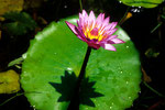 Seerose Nymphaea colorata