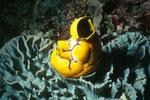 Seescheide Polycarpa aurata auf Hartkoralle.