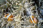 Anemonen- oder Clownfisch Amphiprion.