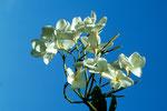 Frangipani Plumeria obtusa