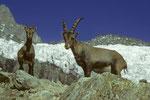 Steinböcke Capra ibex in Hüttennähe