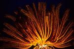 Federstern Crinoidea 1.