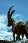 Steinbock  Capra ibex