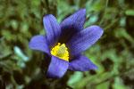 Duftende Schönheit der Berge Blütenkelch