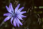 Duftende Schönheit der Berge - Blauer Lattich Lactuca perennis