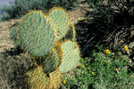 """Beavertail Cactus"""