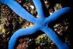 Linckia laevigata  blau