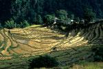 Einsames Gehöft in Reisfeldern
