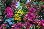 Bougainvillea spectabilis und Allamande cathartica L.