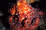 Krake Octopus luteus beim Nachttauchgang 3.