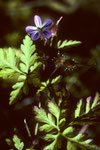 Storchenschnabel  Geranium robertianum