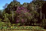Botanischer Garten von Peradeniya mit  Blütenbäumen
