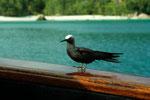 Noddy Seeschwalbe -Anous stolidus- als Gast auf der Thetis