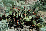 """Beavertail Cactus"" I"