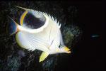Sattelfleck-Falterfisch Chaetodon ephippium.