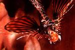 Dendrochirus zebra  Zwergfeuerfisch