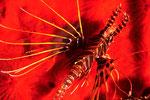 Pterois antennata  auf rotem Schwamm