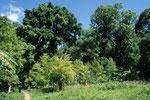 Muskatnussbäume vor Urwaldkulisse.