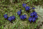 Frühlings-Enzian   Gentiana verna