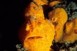 Anglerfisch Antennarius pictus.