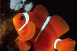 Anemonen- oder Clownfisch Amphiprion sp.