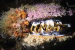 Stachelauster Spondylus varius.