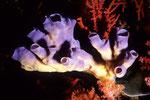 Porifera1.