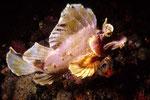 Rhinopias eschmeyeri schwimmend