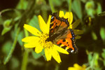 Grosser Fuchs  Nymphalis polychloros auf Arnika montana