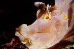 Rhinopias eschmeyeri Portrait