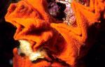 Clathria mima  - auf dem Gehäuse einer Schnecke -