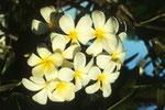 Frangipani Plumeria obtusa.