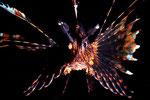 Pterois volitans  Nachttauchgang