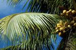 Kokosnusspalme  - Cocos nucifera -