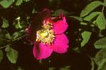 Alpen-Heckenrose  Rosa pendulina