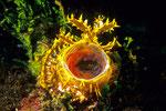 Rhinopias frondosa frontal mit geöffnetem Maul; daher Schluckspecht