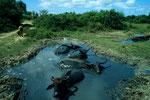Wasserbüffel  Bubalus arnee