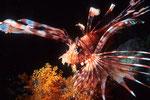 Rotfeuerfisch Pterois volitans