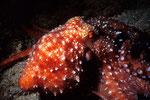 Krake Octopus luteus beim Nachttauchgang 2.