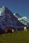 Eiger Nordwand  3970m und Jungfrau 4158 m