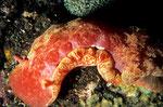 """Hexabranchus sanguineus  """"Spanische Tänzerin""""  etwa 35cm lang"""