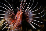 Rotfeuerfisch, Pterois antennata