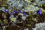 Glockenblume  Campanula scheuchzeri I