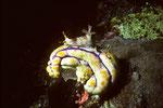 Nembrotha lineolata  auf Polycarpa aurata