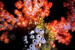 Dendronephthya  sp.  mit  Porifera